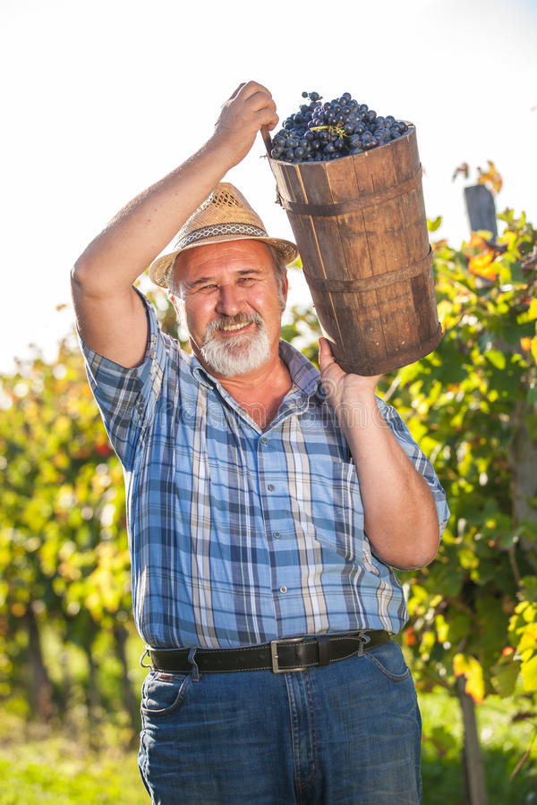Viticulteur mûr moissonnant les raisins noirs image libre de droits
