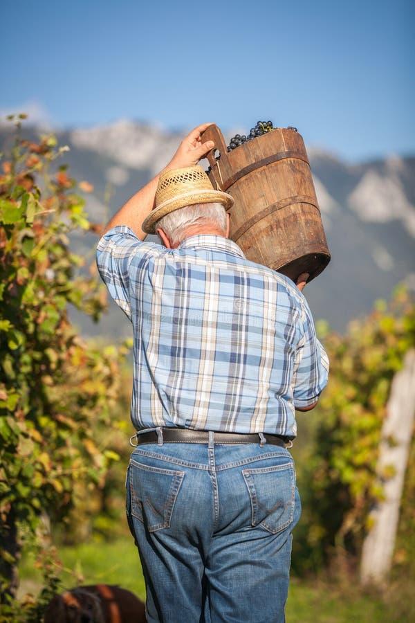 Viticulteur mûr moissonnant les raisins noirs photographie stock