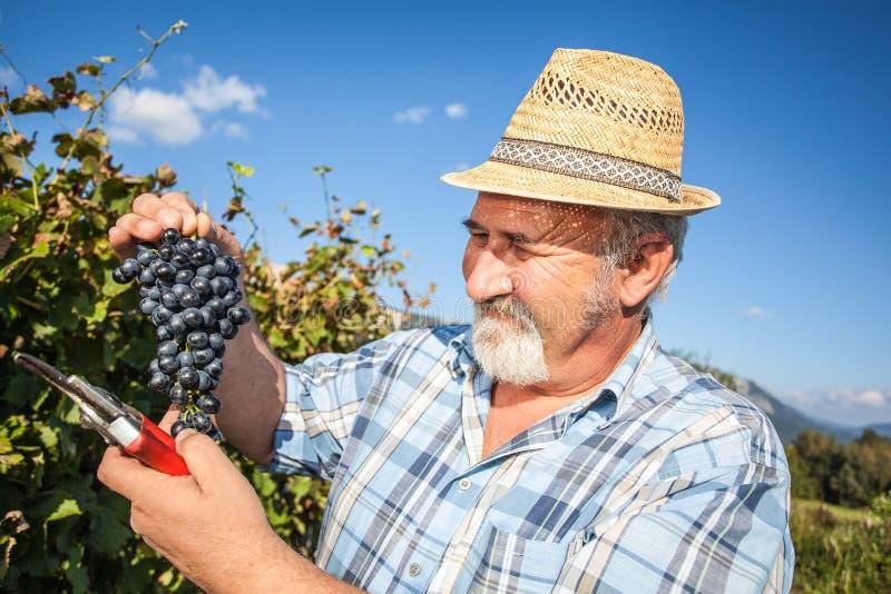Viticulteur mûr moissonnant les raisins noirs images libres de droits