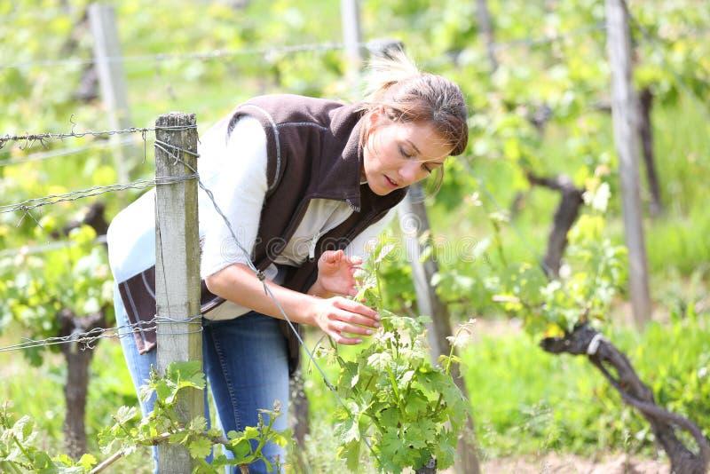 Viticulteur travaillant dans les vignobles photos stock