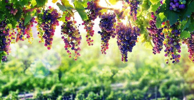 Viticulture The Sun qui mûrit photographie stock libre de droits