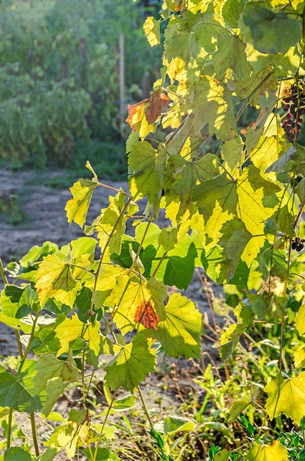 Vitis - folhas no sol, fim do verde da vinha de vinifera acima imagens de stock