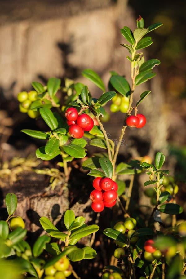 Vitis-idaea do vaccinium dos Lingonberries fotografia de stock royalty free