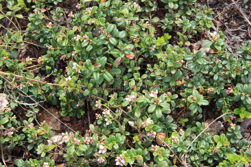Vitis-idaea do Vaccinium (lingonberry ou airela) foto de stock