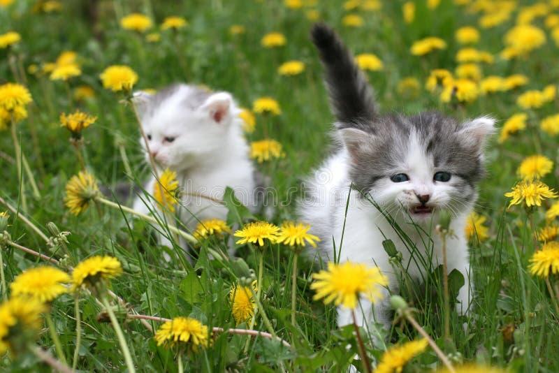 Kattungar i maskrosor arkivfoton