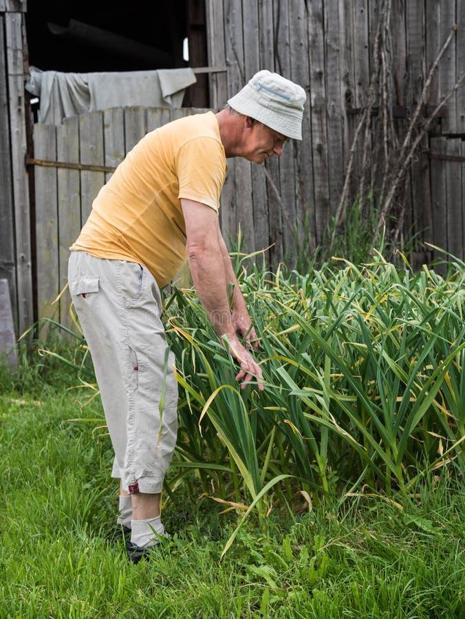 Vitlök för bondeplockninggräsplan royaltyfria foton