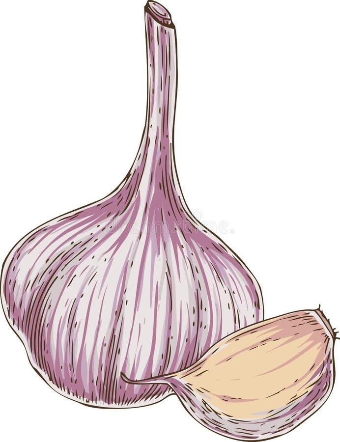 Vitlökkula och kryddnejlika vektor illustrationer
