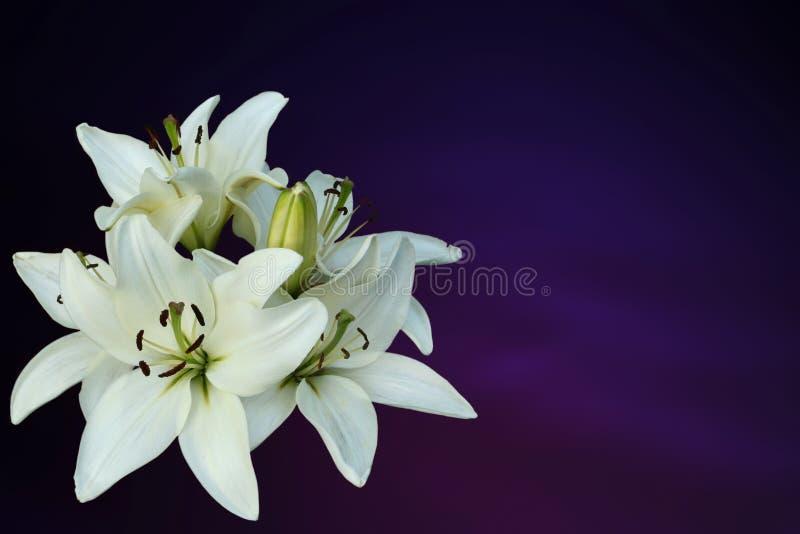 Vitliljar på purpurfärgad bakgrund royaltyfri foto