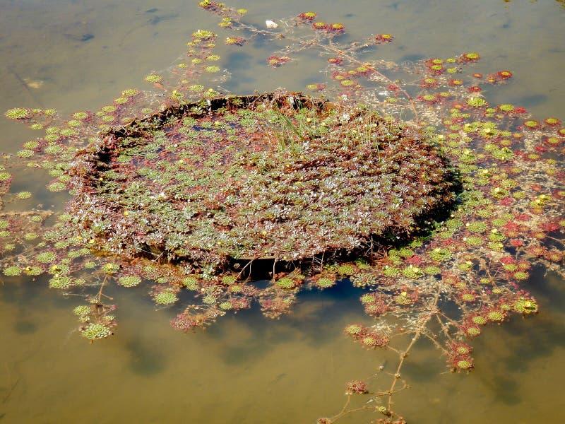 Vitoria regia在湖 库存图片