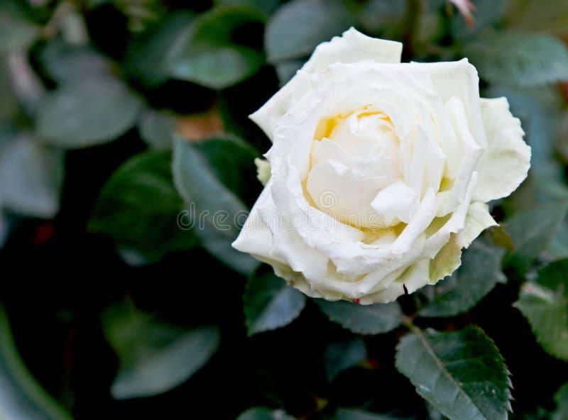 Vitros som blommar i tr?dg?rd royaltyfria foton