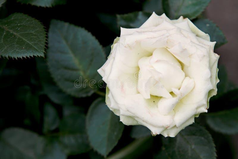 Vitros som blommar i tr?dg?rd arkivfoto
