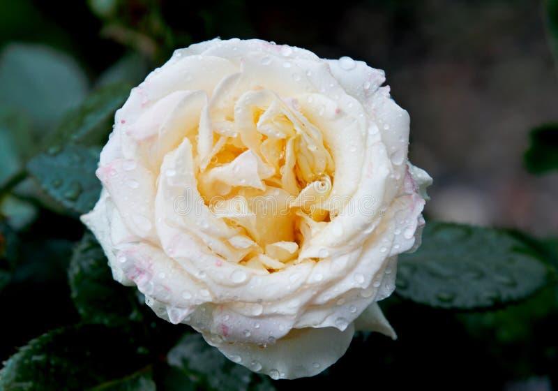 Vitros som blommar i tr?dg?rd royaltyfri fotografi