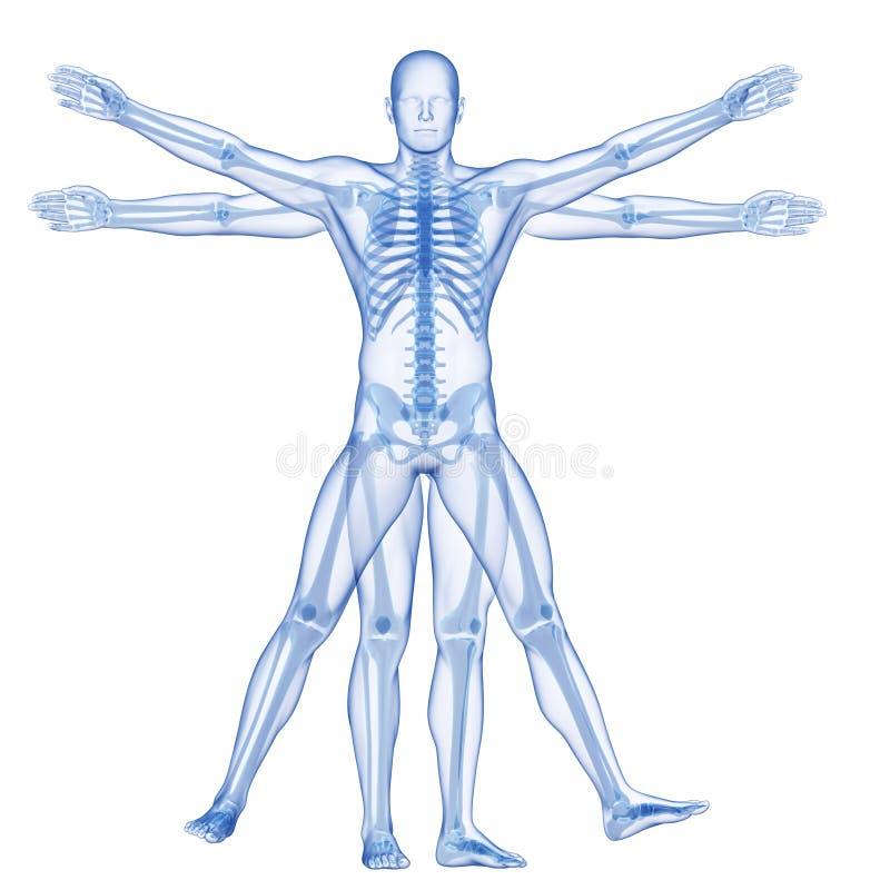 vitruvian人-骨骼 皇族释放例证