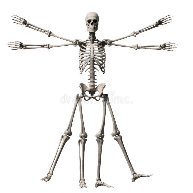 Vitruvianmens - skelet stock illustratie