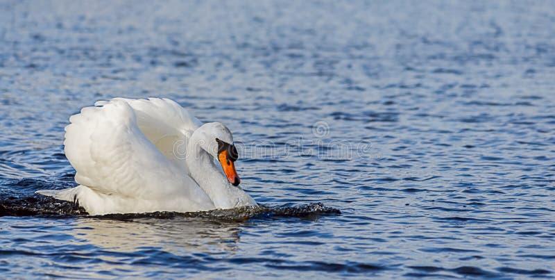 VitSwan på laken arkivbilder
