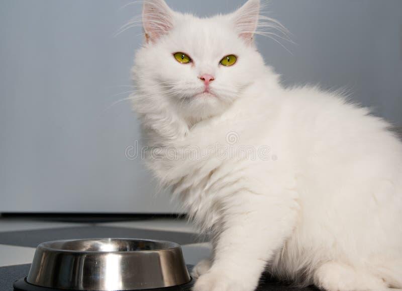 Vitt äta för persisk katt arkivfoton