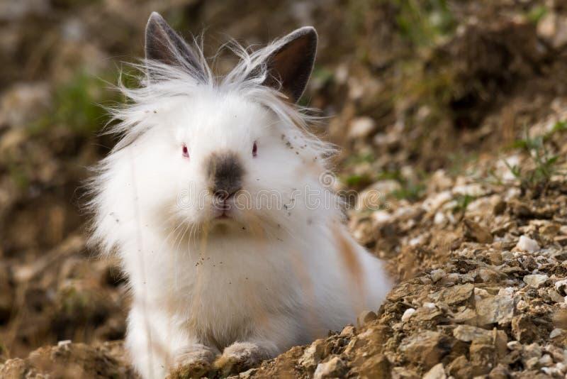 Vitt angora- kaninsammanträde utomhus i det löst royaltyfria bilder