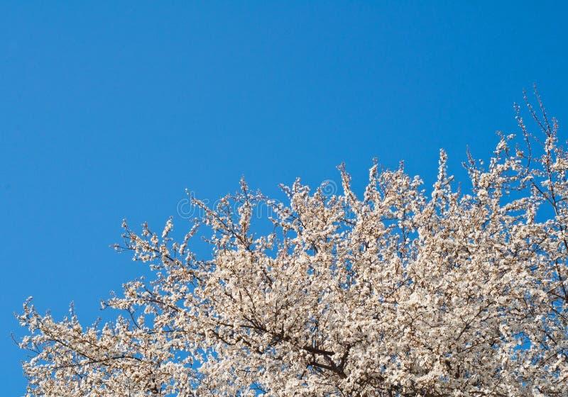 Vitt blomma träd mot blå himmel royaltyfria foton