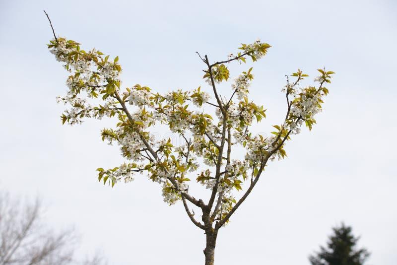 Vitt blommande löst körsbärsrött träd arkivbild