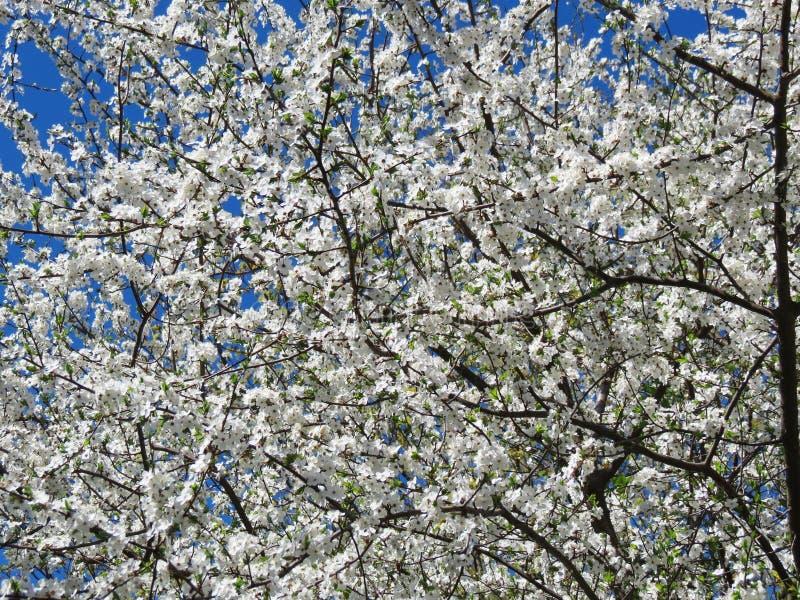 Vitt blommande plommonträd, Litauen royaltyfria foton