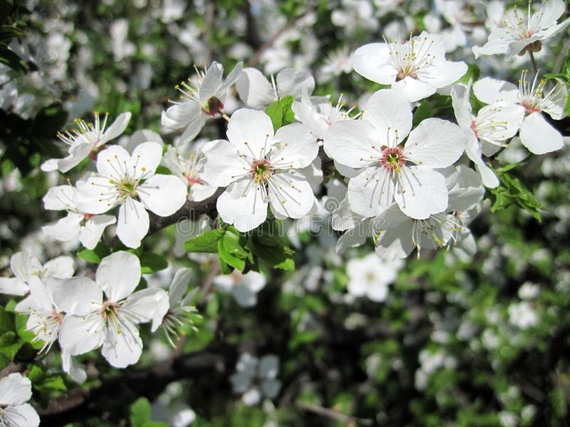 Vitt blommande plommonträd, Litauen royaltyfri fotografi