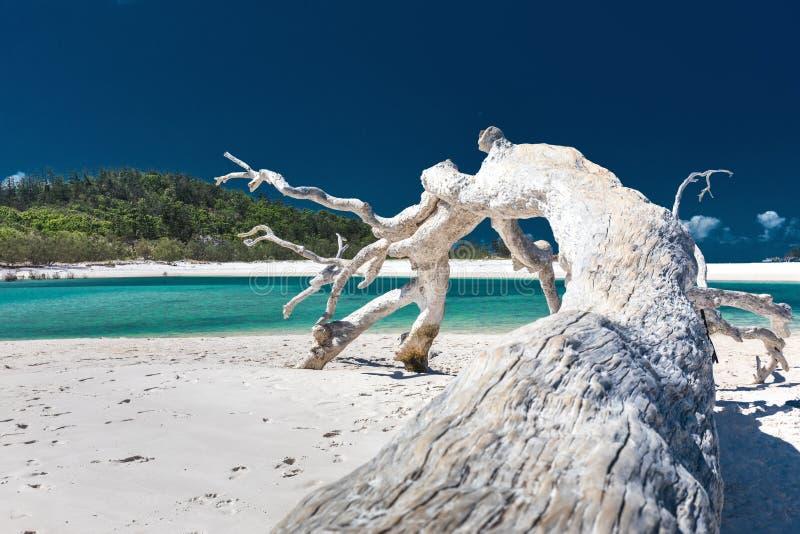 Vitt drivvedträd på att förbluffa den Whitehaven stranden med vit sand arkivfoto