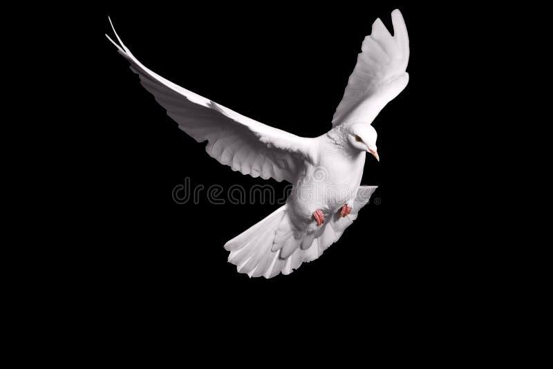 Vitt duvaflyg på svart bakgrund för frihetsbegreppet i snabb bana, internationell dag av fred 2017 arkivfoton