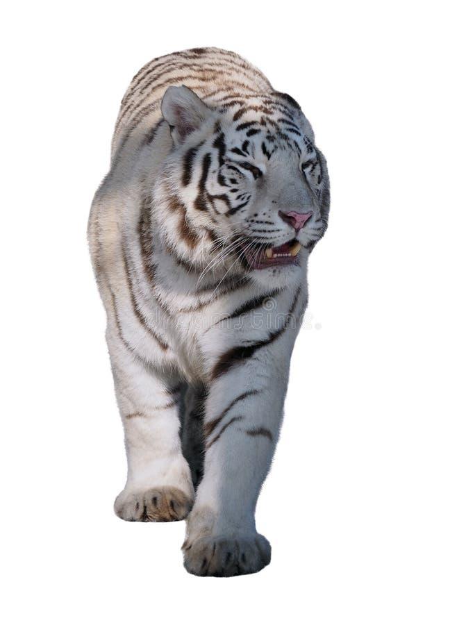 Vitt gå för tigerPantheratigris bengalensis som isoleras på whit royaltyfri bild