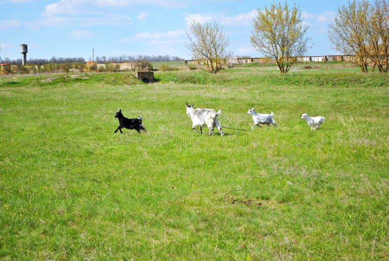 Vitt, grått och svart goatling köra till geten på grön äng nära gammal lantgård med tornet för vatten två royaltyfria bilder