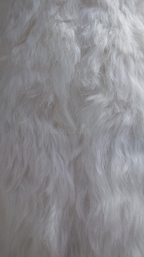 Vitt hår av den maltesiska hunden royaltyfria bilder