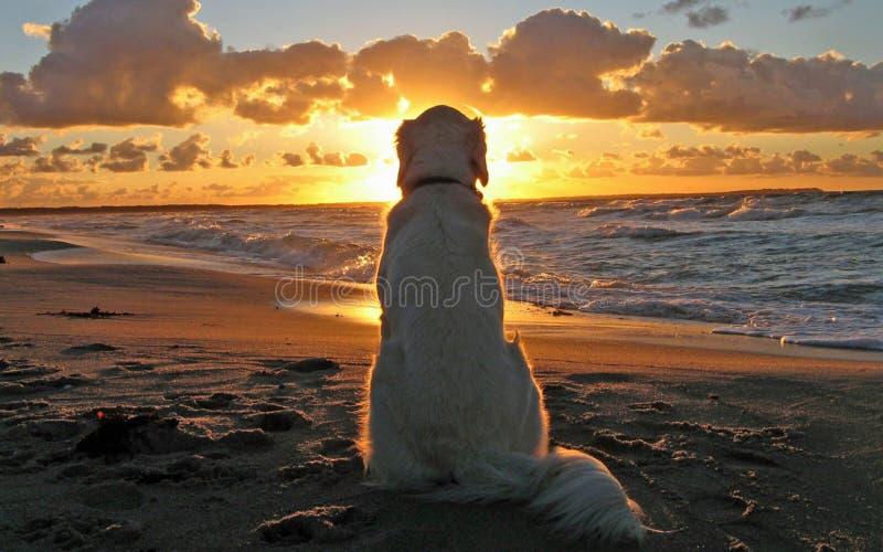 Vitt hundsammanträde på hållande ögonen på solnedgång för sandig strand arkivfoto