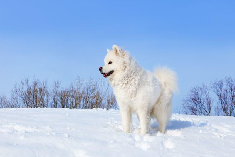 Vitt hundSamoyedanseende i den insnöade vintern på bakgrund av blå himmel royaltyfria bilder