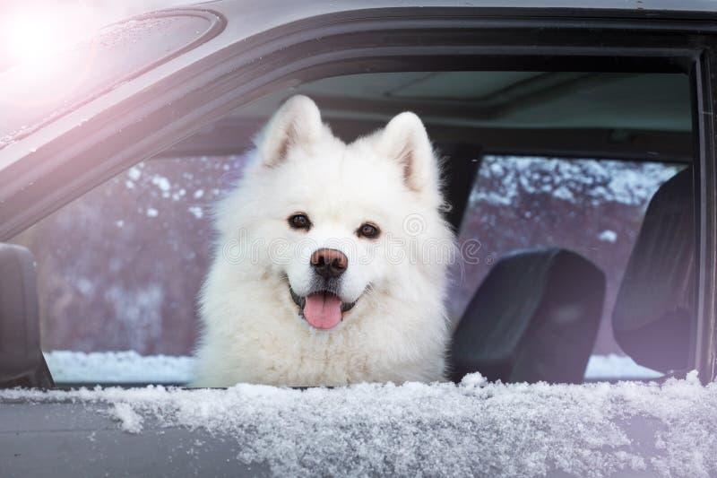 Vitt hundSamoyedsammanträde i bilen royaltyfri foto