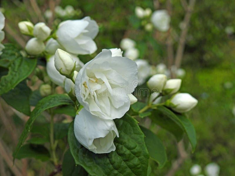 Vitt huvudkronblad för delikat sommar som blommar trädgården för sommar för blomblommaväxter arkivfoton