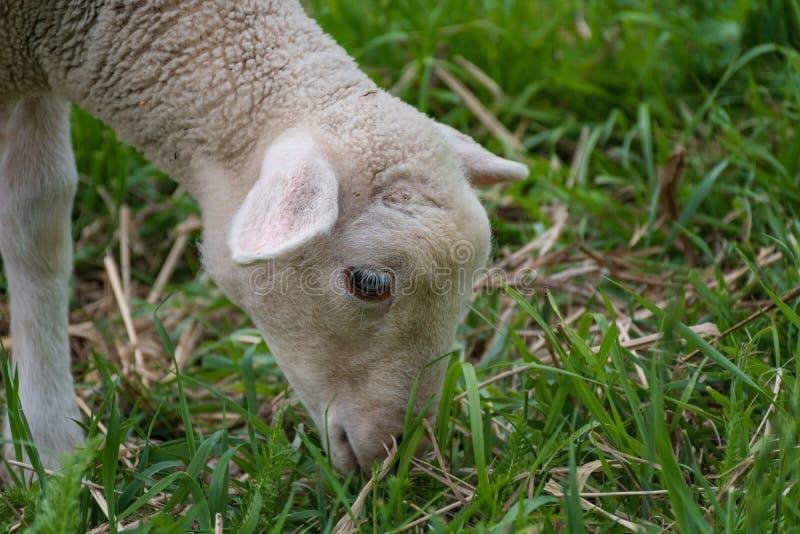 Vitt lamm som äter - stå på gräset arkivfoton