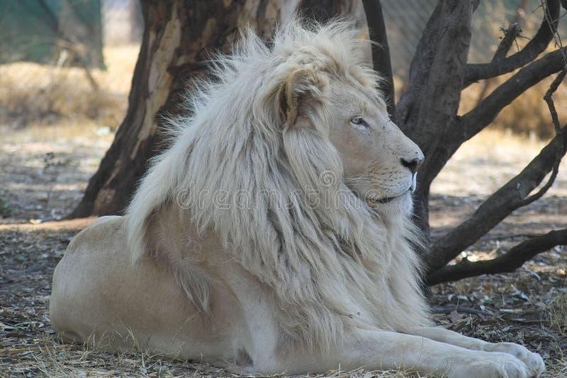 Vitt lejon (pantheraen leo) royaltyfri fotografi