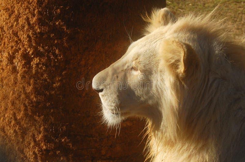 Vitt lejon (pantheraen leo) royaltyfria foton