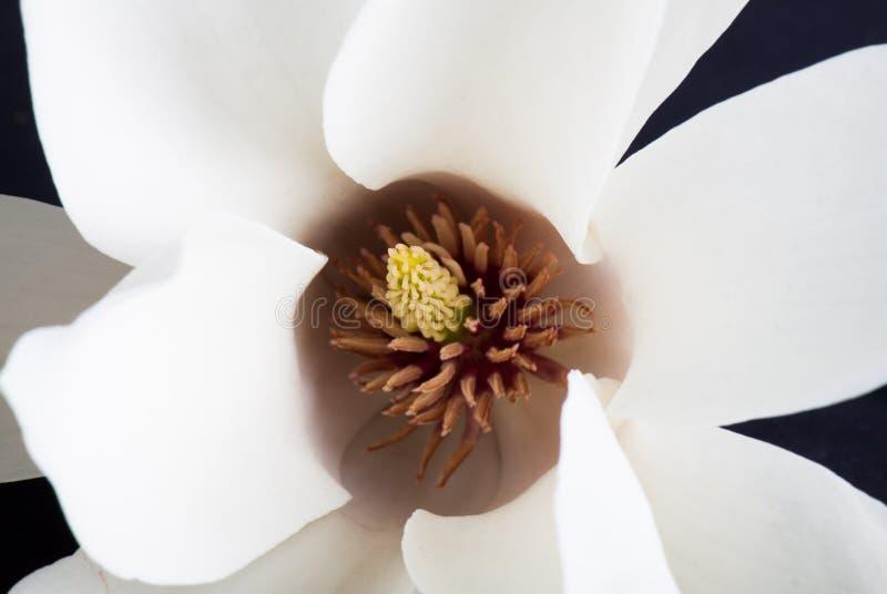 vitt magnoliaslut upp royaltyfria bilder