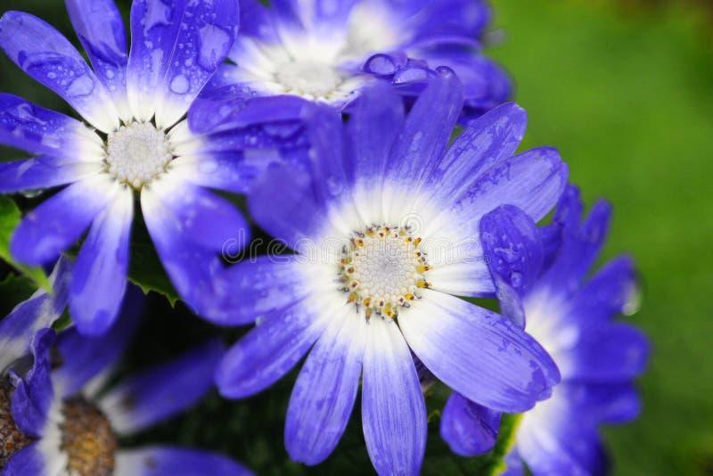 Vitt och bule Chrysanthemum i grön bakgrund fotografering för bildbyråer