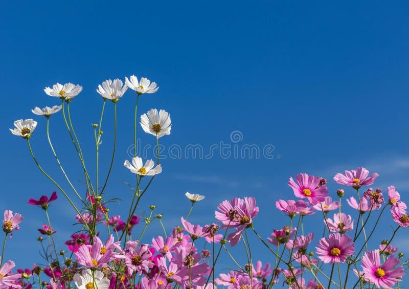 Vitt och rosa kosmos blommar att blomma på bakgrund för blå himmel royaltyfria foton