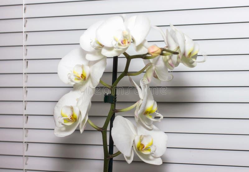 Vitt orkidérum på ett fönster på vita rullgardiner arkivbild