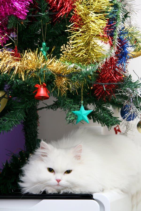 Vitt persiskt vila för kattunge arkivfoto