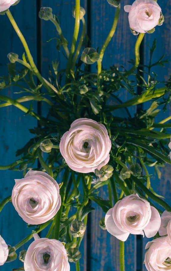Vitt/rosa/Ranonkels/Ranunculus/blommor/Bloemen/persisk smörblomma fotografering för bildbyråer