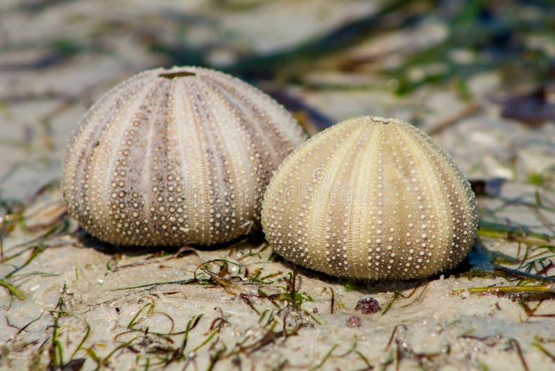 Vitt skal av en havsgatubarn på havskust för sandig strand arkivbild