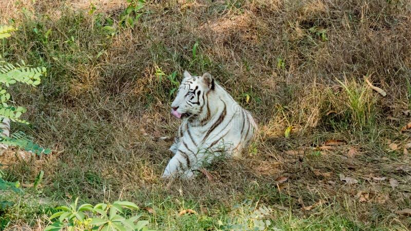Vitt tigersammanträde på gräs-Indien royaltyfria bilder