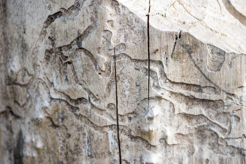 Vitt trä för skada vid termit royaltyfri bild