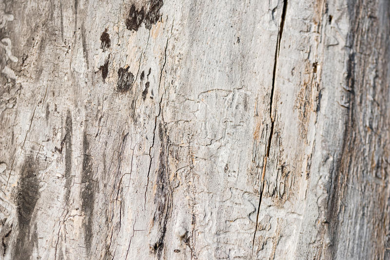 Vitt trä för skada vid termit arkivbild
