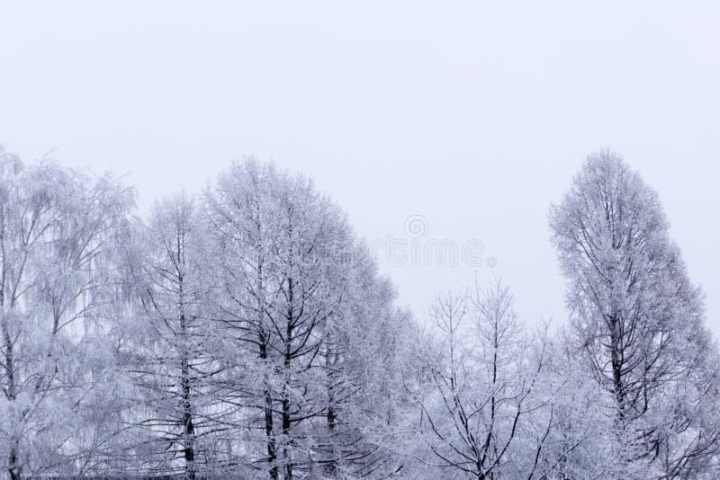 Vitt trä som täckas med frostigt landskap för frost arkivbild