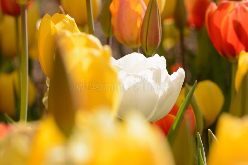 Vitt Tulip Standout In fält av gult unikt som är olikt arkivbilder