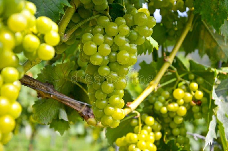 Vitt vin: Vinranka med druvor för tappning och skörden, sydliga Styria Österrike royaltyfria bilder